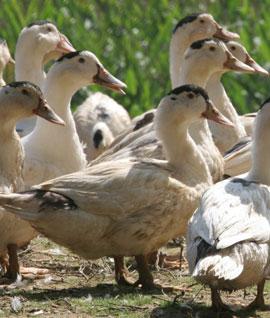 Canards élevés en liberté